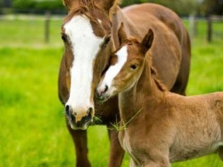 Warmblood Broodmare – Half Sister to Camelot Ego