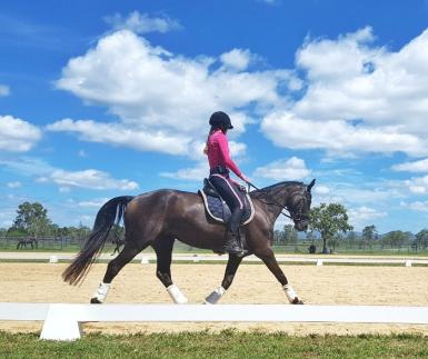 PRICE REDUCED Beautiful Talented WB Mare - 6YO