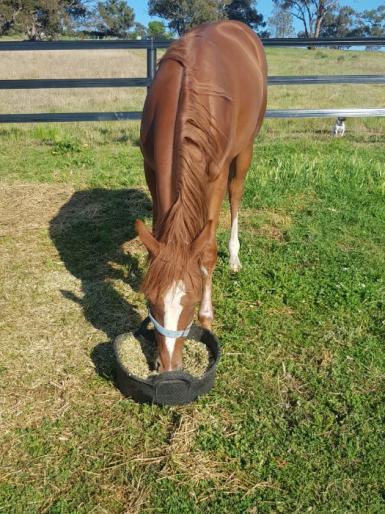 Yearling registered ASH and ANSA Filly