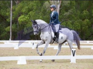 Dressage or event 16hh Grey Warmblood