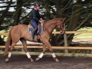 Mareeza Brown Chestnut TB mare 6yo