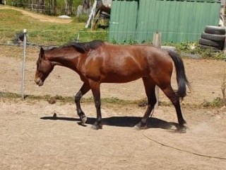 Perfect trail horse 14hh stock horse