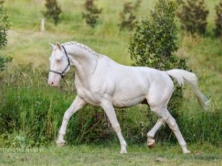 DAIQUIRI GF IMP CREMELLO WARMBLOOD STALLION