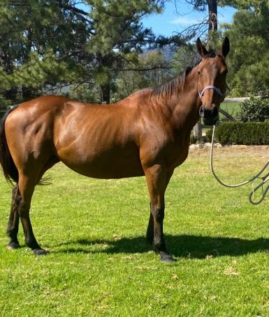 Thoroughbred mare in foal to Wimborne Constable