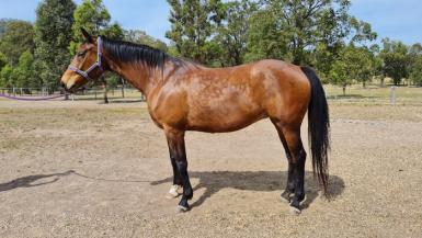 Warmblood mare in foal to Lord Lamarque - Dec 2020