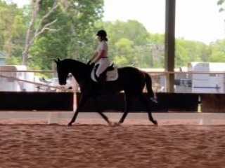Dressage/Showjumping Horse