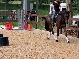 Warmblood X for sale