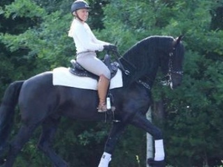 Captain Super talented Friesian gelding for sale