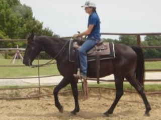 Tennessee Walking Horse, Gelding for sale