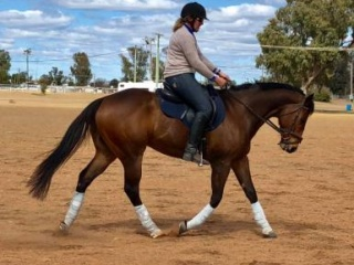 Lovely 9yr Bay TB Gelding