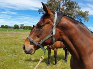 Warmblood Broodmare