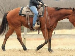 7 years old, Bay, Quarter Horse, Gelding for sale