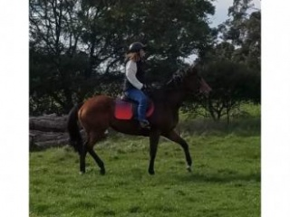 """Back Together"" 9yo Mare for sale"