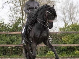 Talented GRAND PRIX Friesian For Sale