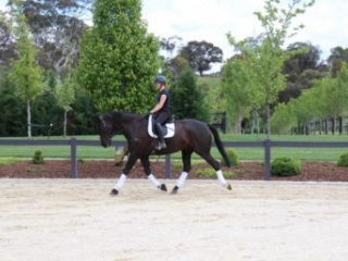 Safe and Reliable Jumper and Dressage Prospect