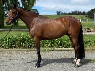 Quality young horse with a lovely temperament