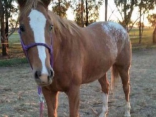 Athletic Appy/ WB Mare