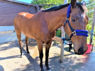 Beautiful OTTB all-rounder/endurance/dressage potential,