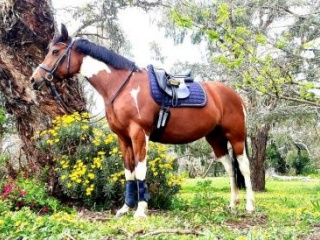 Gorgeous competitive waler x stockhorse mare