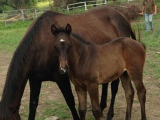 BROOD MARE WITH FOAL AT FOOT