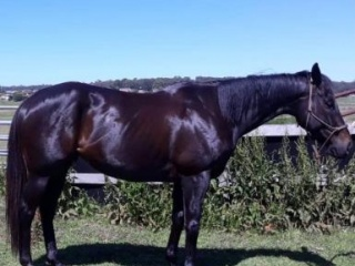 OTT Thoroughbred Gelding 16.2hh