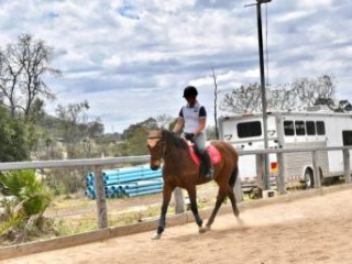 Quiet Thoroughbred- Dressage, Show, Pleasure