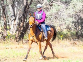 Competitive purebred gelding