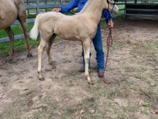 11 month olds palomino QH X PAINT COLT
