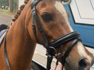 Amazing all rounder welsh pony for sale