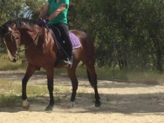 Bay Warmblood Gelding