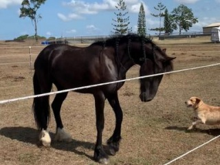 Beautiful Friesian x Clydie filly