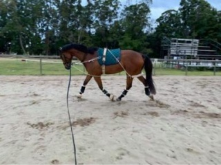 Attractive Warmblood for sale