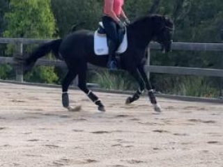 Athletic and Elegant Mayfield Pzazz Mare