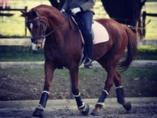 17.1hh 16yo Warmblood Broodmare