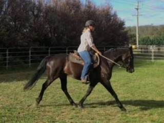 Stunning black part welsh gelding