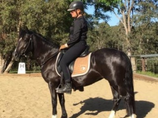 Stonyvale Black Poppy - Section C 7yo mare, 13hh,