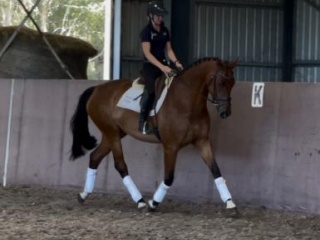 Sensible & eye-catching dressage 5yo mare