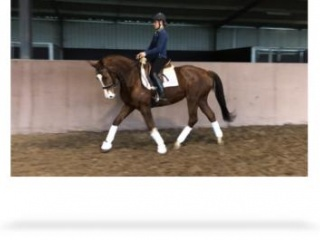 Eye-catching, blingy dressage warmblood