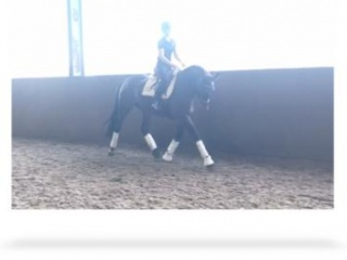 7yo dressage/allrounder warmblood