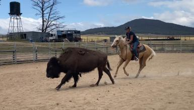 Campdraft in New South Wales