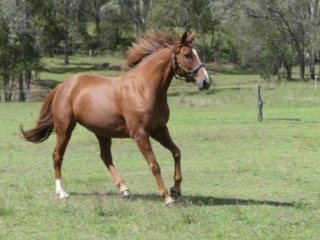 Trakehner Mare with outstanding pedigree