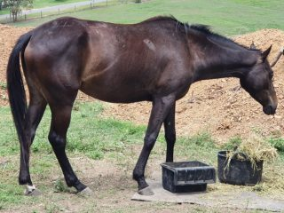 6yo gelding burnt umber color