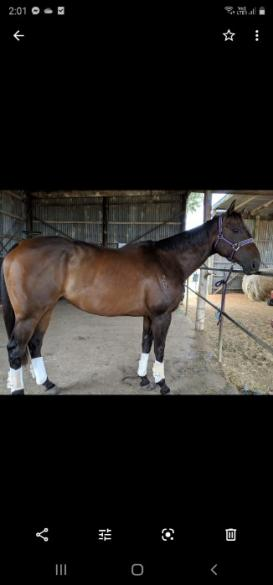 Alfie is a 10 yr old thoroughbred gelding.