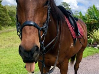 EOI - OTT Gelding 15.2 8 year old