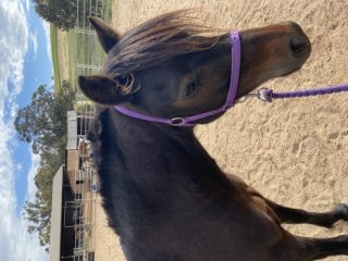 Pure Welsh Pony Mare Registered
