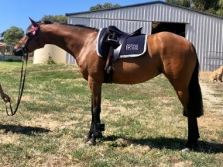 Lovely riding pony mare- suit confident child +