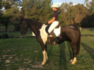 Gentle Reliable Quiet Dressage Horse