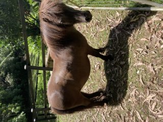 FREE TO GOOD HOME - Male Shetland Pony
