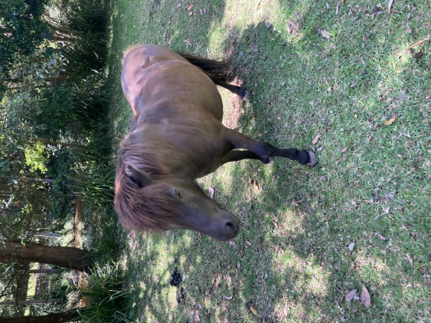 Shetland Pony in New South Wales