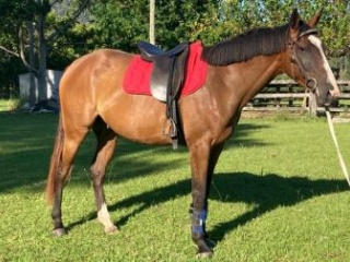 Quiet TB Gelding - Must Sell!